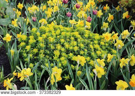 Beautiful Spring Yellow Flower Bed With Spurge (milkweed Or Euphorbia Multiflorum), Daffodils And Tu