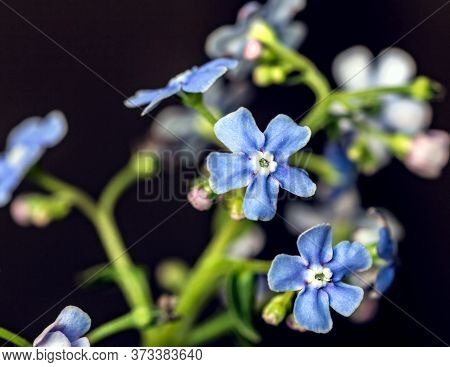 Pretty Blue Close-up Flowers Forget-me-nots On Dark Background