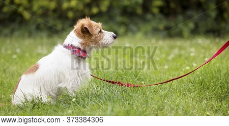 Obedient Cute Smart Jack Russell Terrier Dog Puppy Sitting And Waiting In The Grass On A Red Leash A
