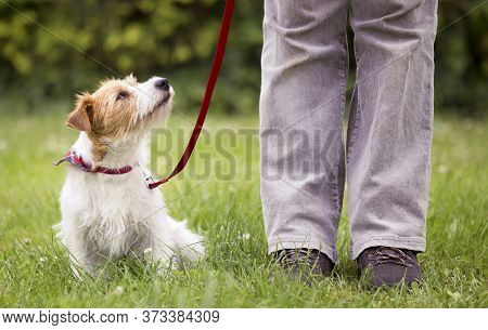 Obedient Cute Smart Jack Russell Terrier Dog Puppy Sitting In The Grass On Leash And Looking Up To H