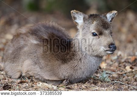 Portrait Of A Sika Deer Fawn (cervus Nippon) Sitting On The Ground In The Woods