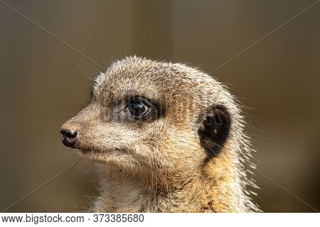 Head Shot Of A Meerkat (suricata Suricatta)