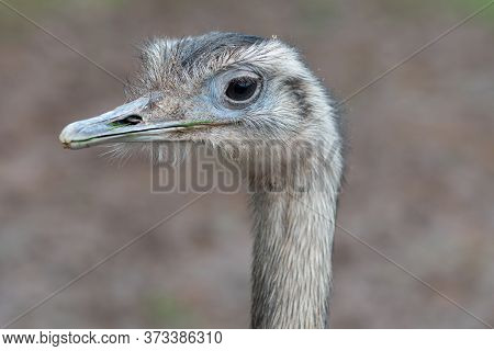 Head Shot Of A Greater Rhea (rhea Americana)