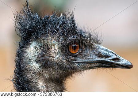 Head Shot Of An Emu (dromaius Novaehollandiae)