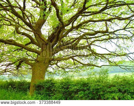 Tree.woody Plants.tree With Roots.green Tree. Large Tree Trunks.green Leaf.
