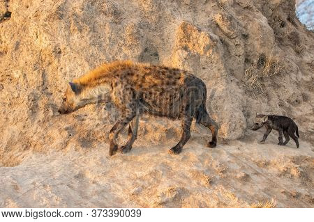Hyena Family Coming Out Of The Den Early In The Morning In The Warm Light Of The Sunrise In A Game R