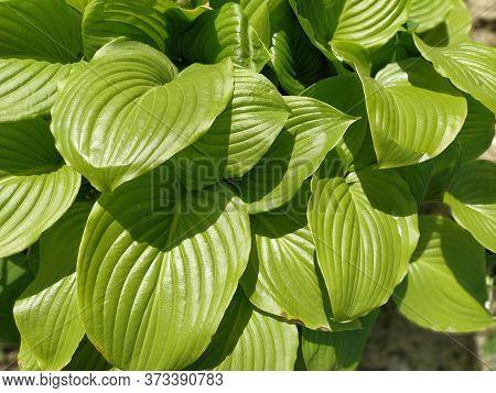 Close Up Of Textured Green Hosta Leaves. Plant Hosta