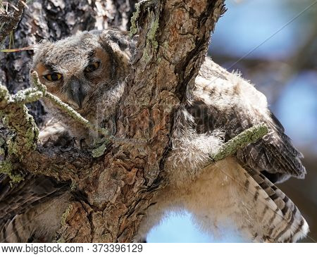 A Baby Great Horned Owl Looks Down At The Camera While Perched On A Large Pine Tree.