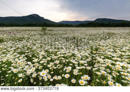 Chamomile Flower Field. Chamomile In Nature. Chamomile Daisy Blooms On A Summer Day. Landscape With