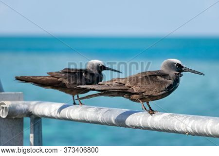 Two Black White Capped Noddy Seabird Perched In Hardy Reef, Australia
