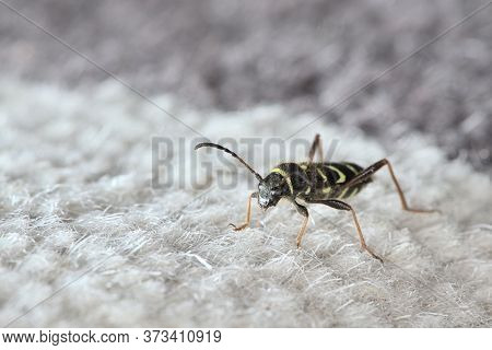 Close Up Portrait Of A Wasp Beetle Standing On Carpet In A House, Looking Left Into Copy Space, Stri