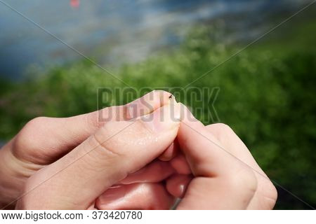 Wet Hands holding the stinger of a honey bee after being stung after swimming, shallow focus on bee stinger