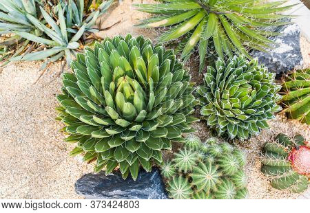 Agave succulent plant, freshness leaves with thorn of Queen victoria century agave