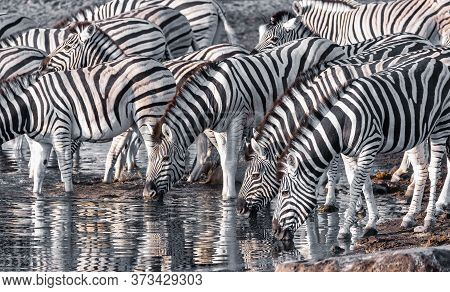 Burchell's Zebra Family With Calf Drinks From Waterhole, Etosha National Park, Namibia Wildlife Wild