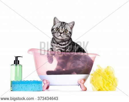 Cute Junior Silver Tabby British Shorthair Cat, Sitting In Pink Doll Bath With Sponge And Soap. Look