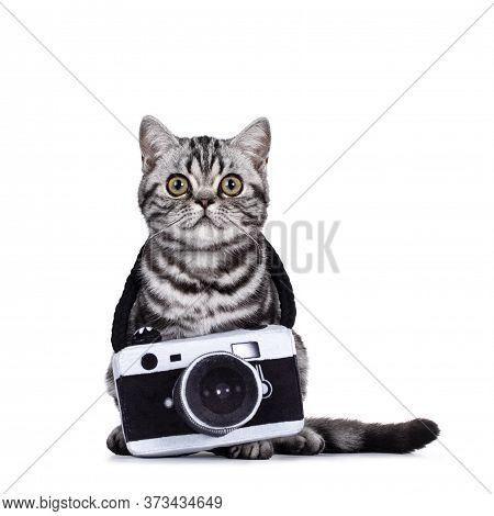 Cute Junior Silver Tabby British Shorthair Cat, Sitting Up Facing Front With Toy Photo Camera Around