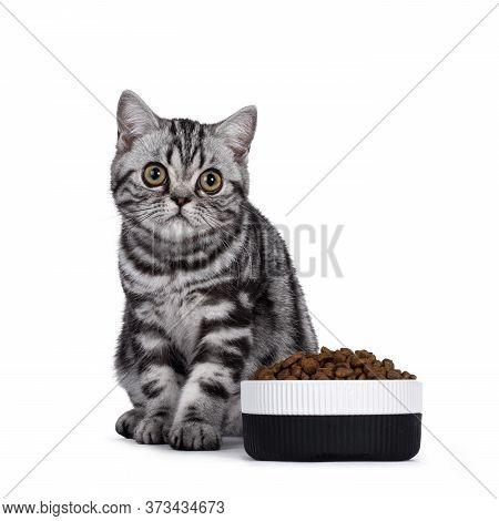 Cute Junior Silver Tabby British Shorthair Cat, Sitting Beside Food Bowl Filled With Dry Food Kibble