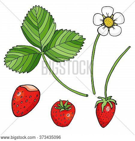 Strawberry Vector Illustration. Red Berries, Strawberry Flower And Leaf Isolated On White Background