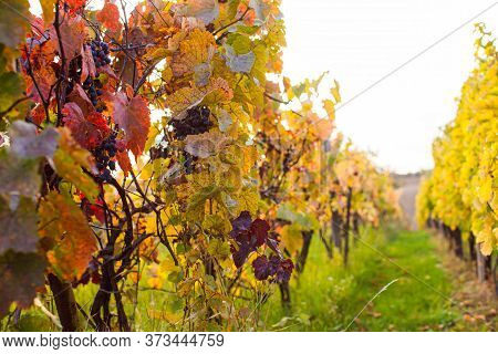 Fascinating Colors Of Autumn Nature On The Vineyard