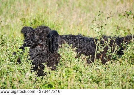 Close-up Of A Black Highland Cattle Cow Is Eating In Very Tall Grass. Cattle Come In Different Color