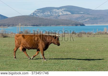 A Red Cow Grazes In A Meadow. One Red Cow Is Walking In A Field. Landscape With A Cow And A Lake. Ru