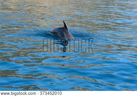 Dolphins In The Black Sea Off The Coast Of Balaklava. A Beautiful Dolphin Accompanies The Boat. One