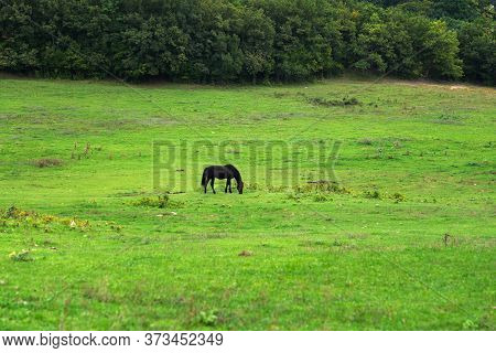 Grazing Horses On The Green Field. Horses Grazing Tethered In A Field. Horses Eating In The Green Pa