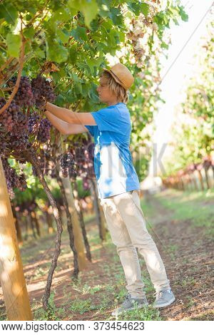 Blond Teenager In Straw Hat Picking Ripe Grapes In Vineyard At Sunny Day. Boy Harvesting Red Grapes