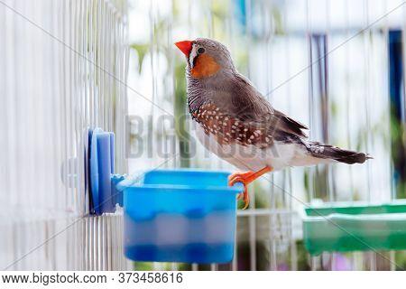 Portrait Of A Colorful Grey Bird Zebra Finch, Taeniopygia Guttata, Sitting In A Cage On A Balcony An