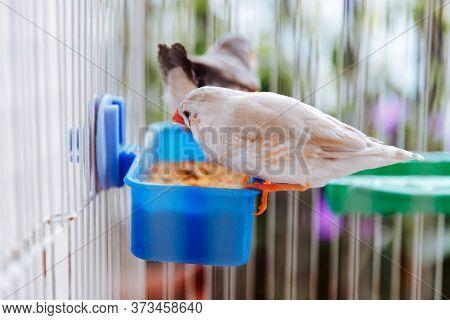 Birds At Home, Colorful White Bird Zebra Finch, Taeniopygia Guttata, Sitting In A Cage On A Balcony,