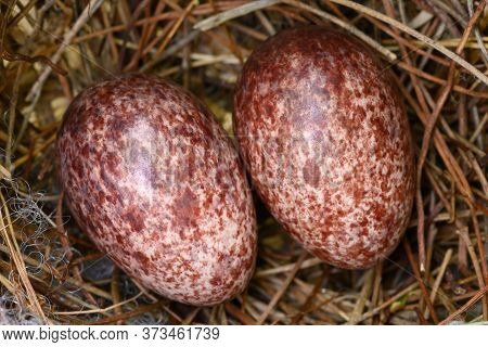 Two Eggs In A Nest Of Yellow-vented Bulbul (pycnonotus Goiavier), Or Eastern Yellow-vented Bulbul, I