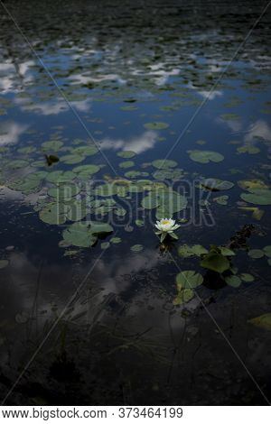 A Vertical Image Of A Lone Water Lily Flower Blossoms In A Pond Located In Upstate New York On A Par