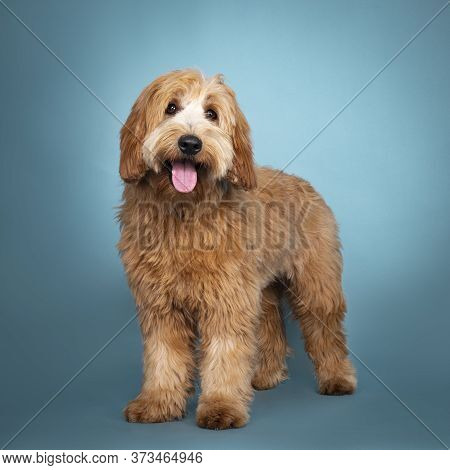 Adorable Junior Red / Apricot Cobberdog / Labradoodle, Standing Facing Front. Looking Towards Camera