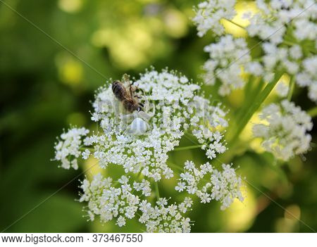 A white spider Latrodectus pallidus hid on a white flower and caught a bee. Wilderness. Close up