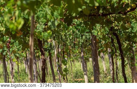 Vines In Brazil After The Grape Harvest. Vines, Vitis, Vines, Vines, Vineyards Or Grapevines (from T