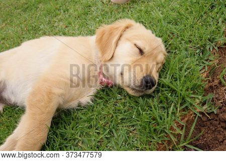 Golden Retriever Puppy Sleeping Happily On A Lawn Background, Grass Texture
