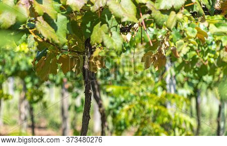 Vines For Table Grape Production In Southern Brazil