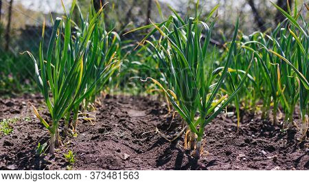 Garlic Planted In A Row On A Garden Bed. Green Garlic Leaves. Fragrant Garlic In The Country. Growin