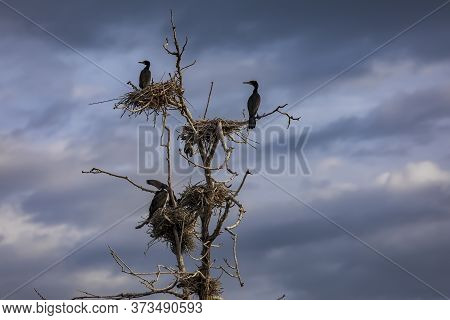 The Great Cormorants (phalacrocorax Carbo) In Bird Sanctuary