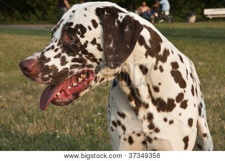 Male Dalmatian dog