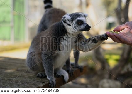 Ring Tailed Lemur In Zoo Taking Food From Man Hand