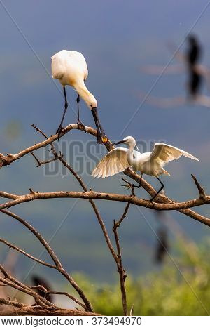 A Cormorant (phalacrocorax Carbo) And One Little Egret (egretta Garzetta)