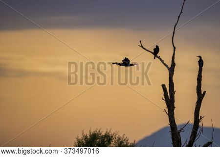 Flying Great Cormorant (phalacrocorax Carbo) In The Morning Sunrise