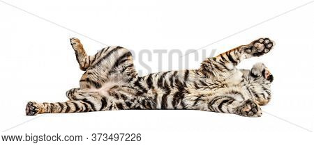 Tiger lying down on its back, isolated