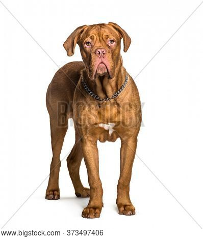 Dogue de Bordeaux standing, isolated on white