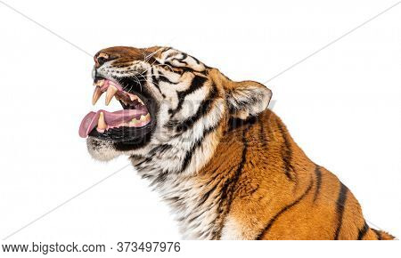 Tiger, mouth open, sniffing the air
