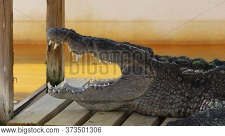Alligator In Its Normal Habits