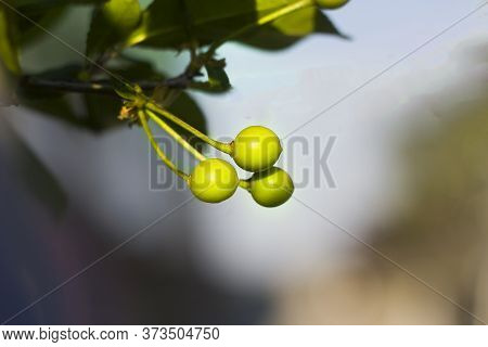 Close-up Of Branch With Unripe Green Cherries, Lemons Or Olives Growing On Sunny Blurred Soft Backgr
