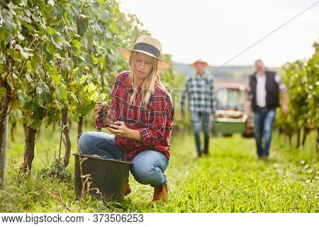 Woman as a winemaker or harvest assistant with the manual grape harvest on the vine