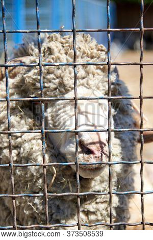 Fluffy Male Ram In A Metal Cage. The Life Of Animals In Captivity.